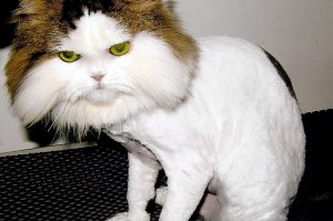 Shaved-Persian-Cat