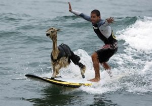 In true San Francisco spirit, one alpaca was rescued via surf board by Potrero Hill resident Silvino Lopes.