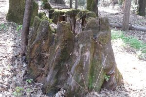 Fox Firemaker's cedar stump birthplace. It's also where he summons his powers for good.