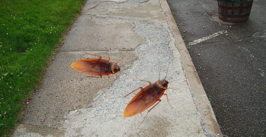 Gigantic Sierra Nevada Roach seen here on a Nevada City sidewalk