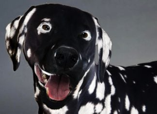 "UCSF's first ""reverse"" GMO Dalmatian named ""Blotch."""