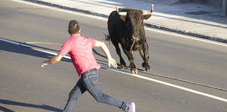"""Pete Johnson of Cedar Ridge attempting to capture his pet Bull """"Jim"""" on Mill Street in Grass Valley. Picture courtesy of Janet Williams of Cedar Ridge."""