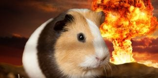 Nevada City Guinea Pig Sugar Peaches isn't concerned about the pending nuclear holocaust brought on by a Hillary Clinton Presidency.