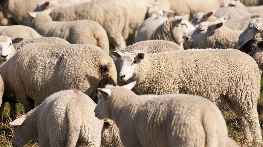Sheep across the world are tired of being lumped-in with Sheeple.