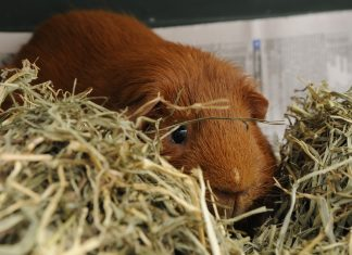 Area guinea pig Chewy-Dewey has obtained a higher level of consciousness after being overfed timothy hay.