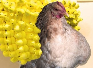 Candy Peeps Made With Real Chicken