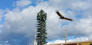 A pair of mating California Condors were spotted in a Grass Valley cell phone tower.