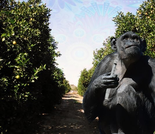 Orange County, CA is set to begin treating its famous orange groves with LSD using chimpanzees.